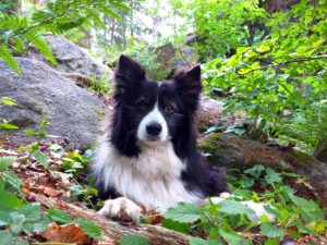 vicky-border-collie