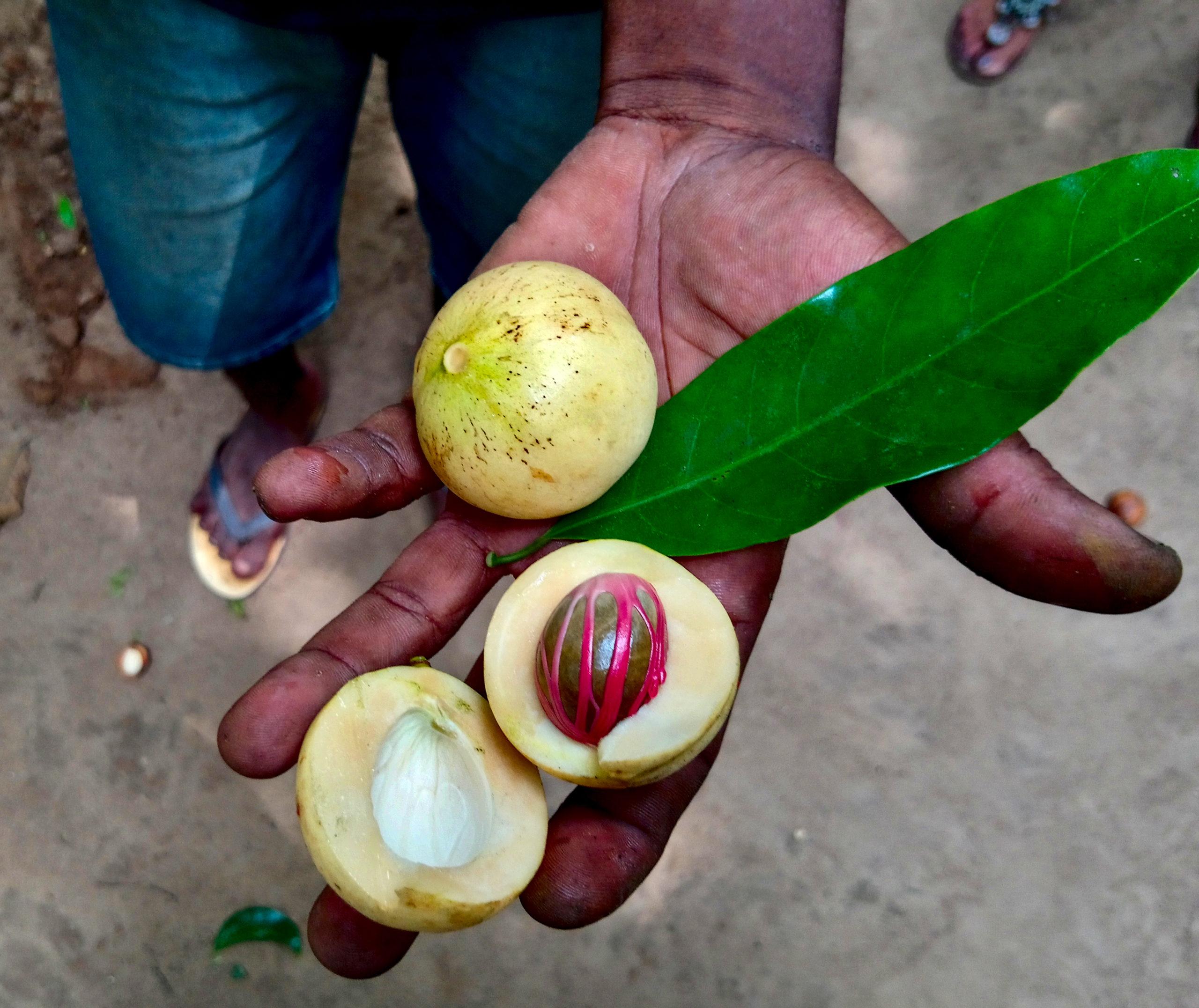 zanzibar-gałka-muszkatałowa-przyprawy
