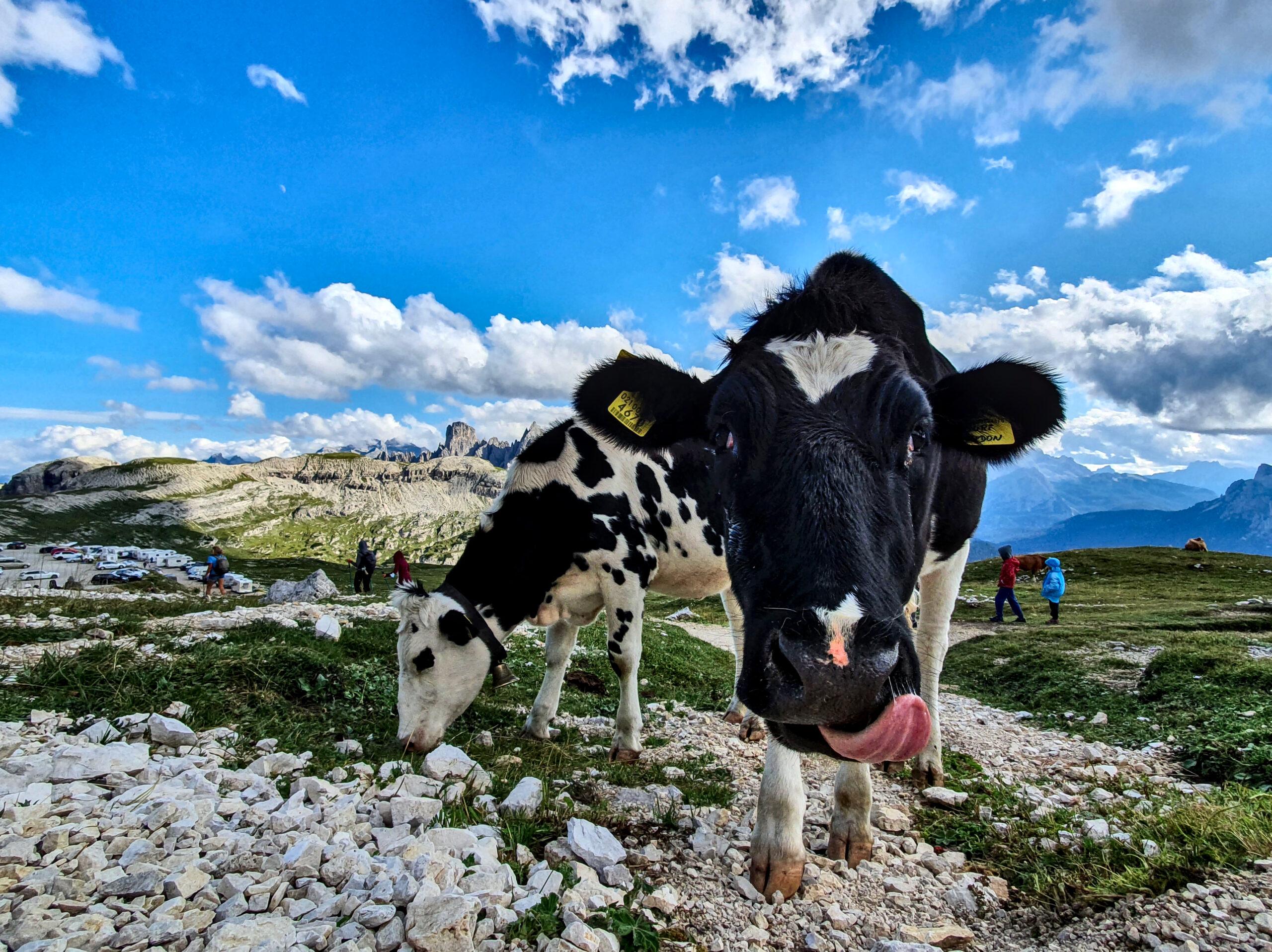 alpy-krowa