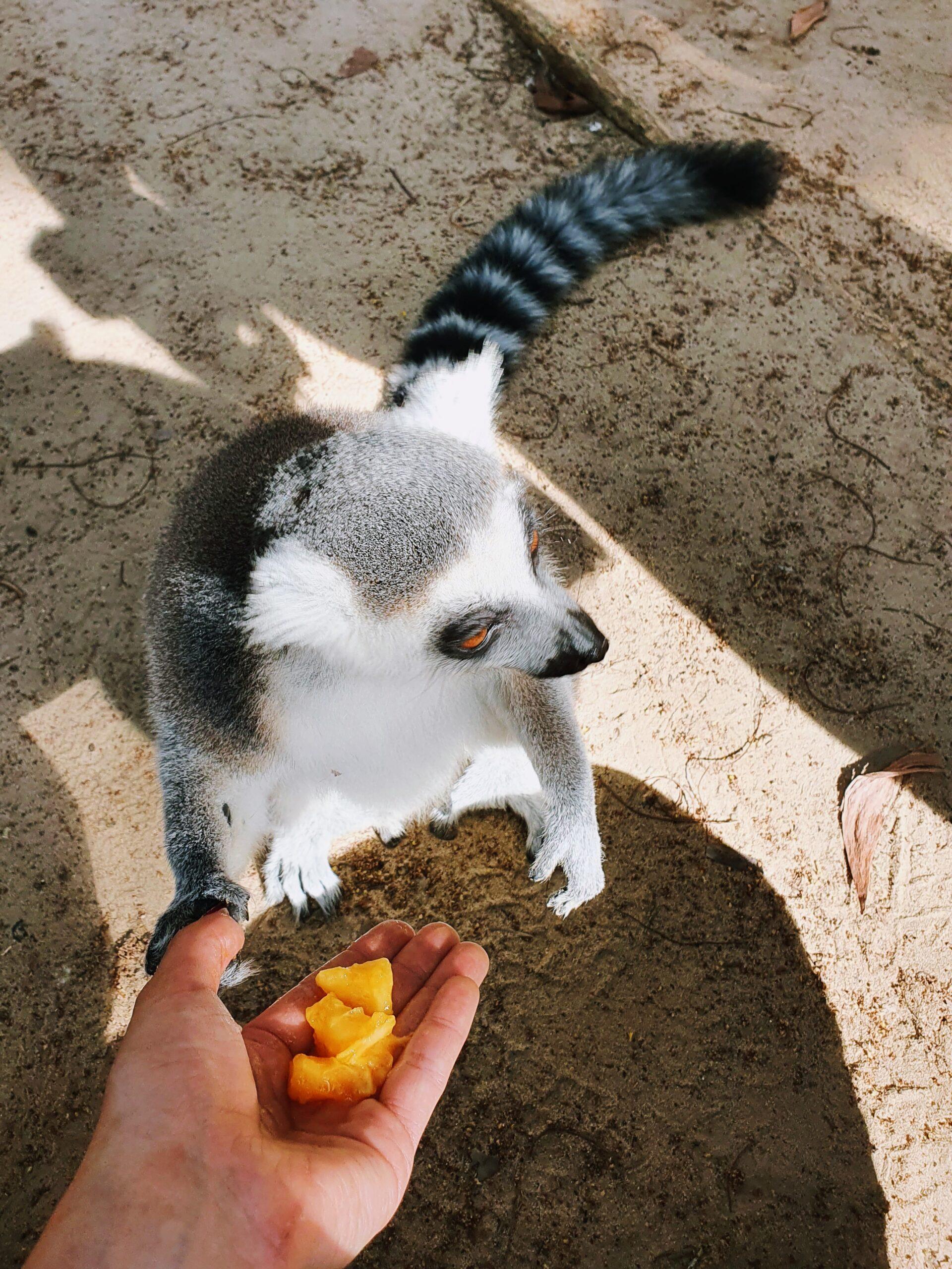 Cheetah's-Rock-lemur